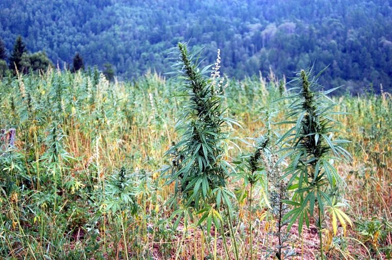 Травы издревле одевали и обували человека, кормили