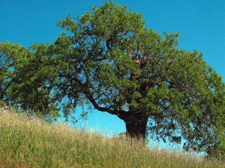 Свойства деревьев в Славянской Традиции