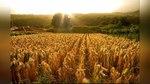 Россия отказалась от американской кукурузы