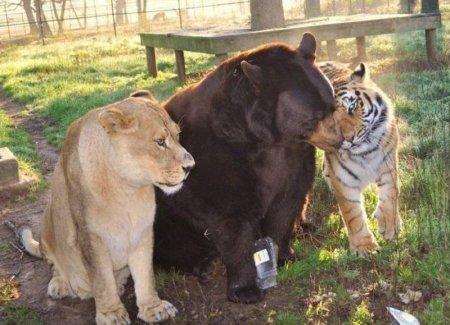 Интересно. Три друга: медведь,тигр,лев.