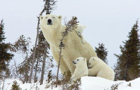 » Игры трехмесячных медвежат с мамой