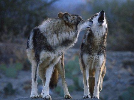 Оскалив клыки, защитим мы планету!Выть волком