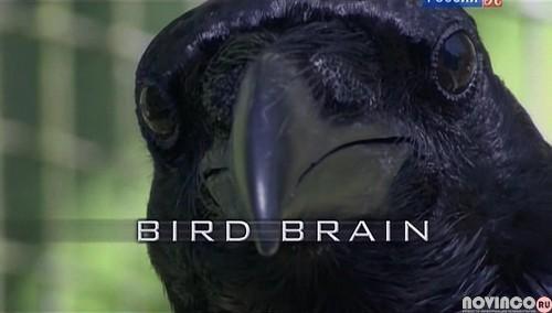Думают ли птицы? / Bird brain