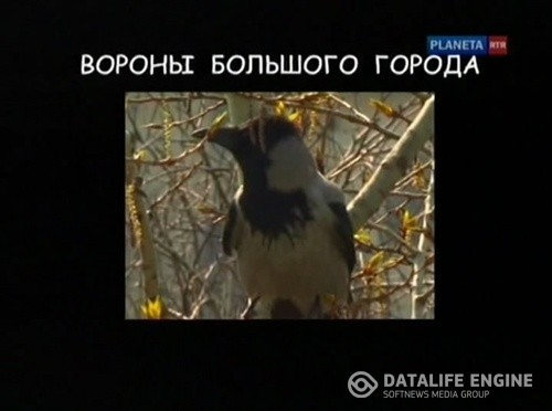 Страна птиц. Вороны большого города (4 серии)