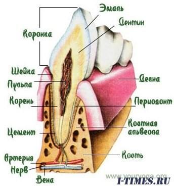 Практика роста новых зубов