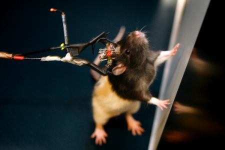 » Мозг крыс похож на наш больше, чем считалось