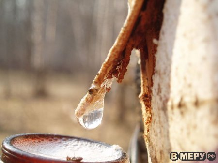 Березовый сок: плачет русская берёзкаДети середины