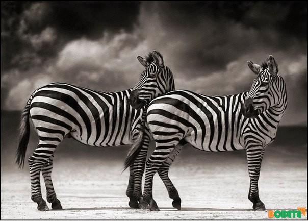 Фотограф Ник Брандт. Немного дикой Африки.
