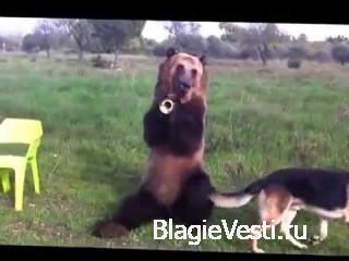 Медведь в обычной русской глубинке. Американцам желательно не показывать :) ...