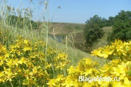 Трава зверобой издавна в народе считался одной из главных врачебных трав, и ...