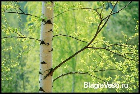 Береза в белом халате - Растения-целители - Тайны растений
